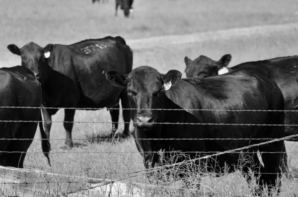black_cow_fence